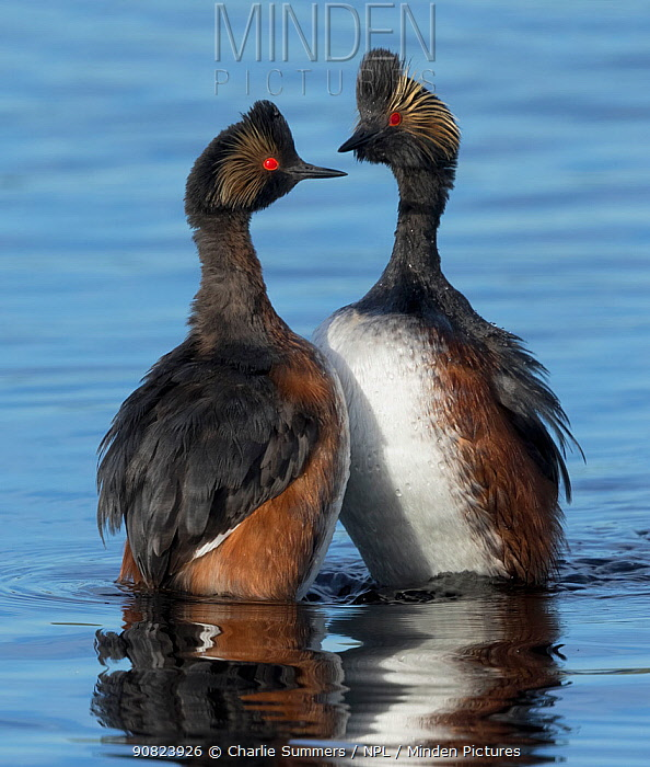 Eared grebes (Podiceps nigricollis) stand erect in water during courtship, North Park, Colorado, USA. June.