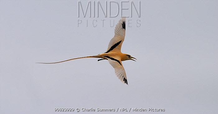 Golden bosun bird (Phaethon lepturus fulvus) flying over settlement on Christmas Island, Australia.