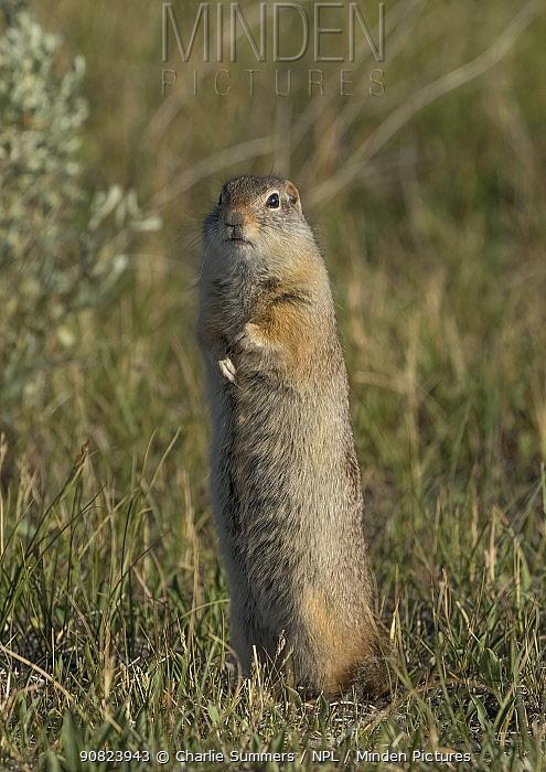 Wyoming ground squirrel (Urocitellus elegans) standing to have a better look around. North Park, Arapaho Wildlife Refuge, Colorado, USA.