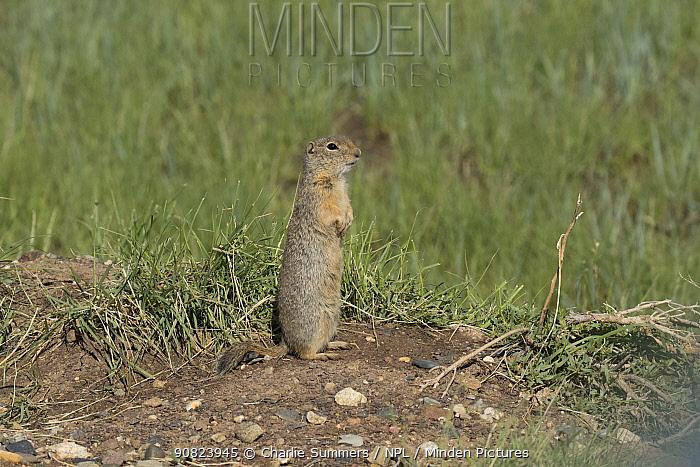 Wyoming ground squirrel (Urocitellus elegans), standing alert. Arapaho National Wildlife Refuge, Colorado, USA, June.