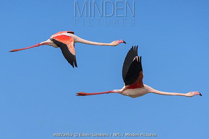 Greater flamingo (Phoenicopterus roseus) two in flight, Pont Du Gau Park, Camargue, France.