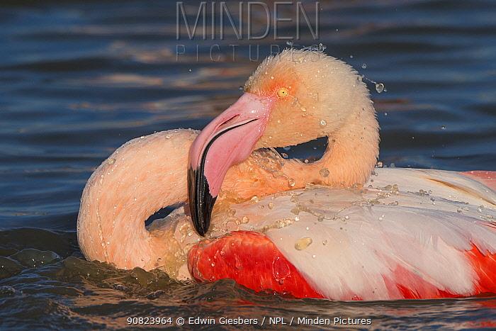 Greater flamingo (Phoenicopterus roseus) Pont Du Gau Park, Camargue, France. bathing,
