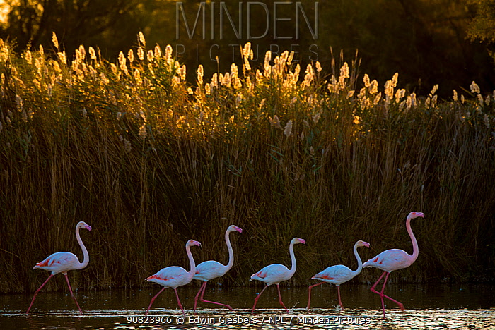 Greater flamingo (Phoenicopterus roseus) Pont Du Gau Park, Camargue, France.