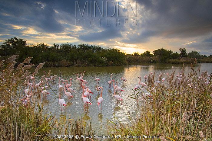 Greater flamingo (Phoenicopterus roseus) Pont Du Gau Park, Camargue, France. November.