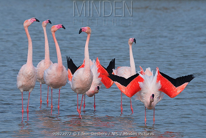 Greater flamingo (Phoenicopterus roseus) courtship display, Pont Du Gau Park, Camargue, France.