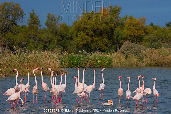 Greater flamingo (Phoenicopterus roseus) courtship display, Pont Du Gau Park, Camargue, France. courtship display,