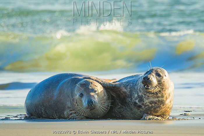 Grey seal (Halichoerus grypus) male and female courting on beach, Helgoland, Germany.