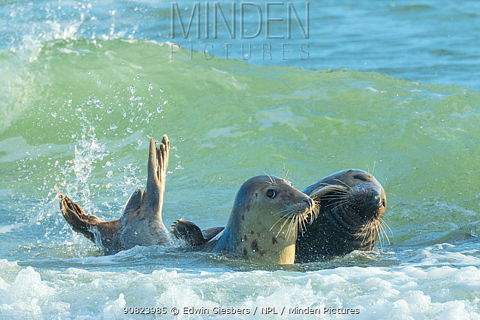 RF - Grey seal (Halichoerus grypus) male and playing in shallow sea, mating behaviour, Helgoland, Germany.