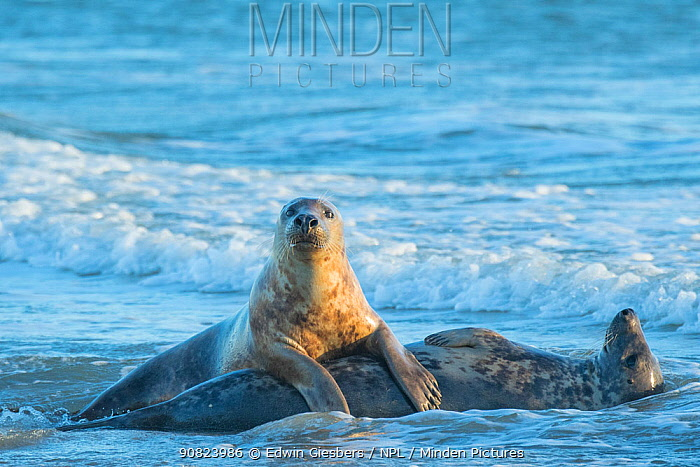 Grey seal (Halichoerus grypus), male and female, mating behaviour, Helgoland, Germany.
