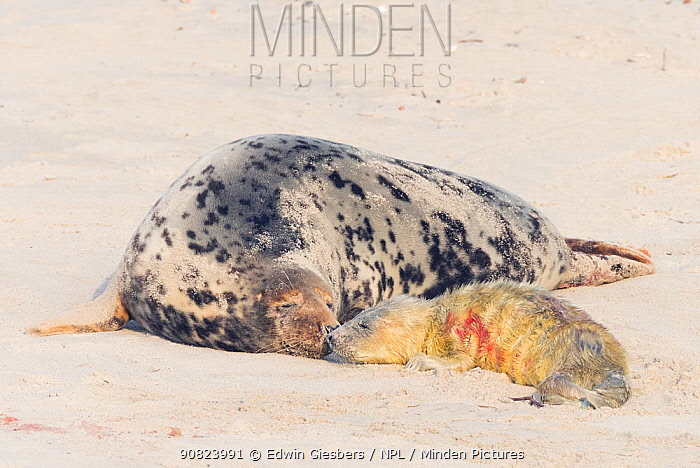 Grey seal (Halichoerus grypus), mother with newborn pup, Helgoland, Germany.