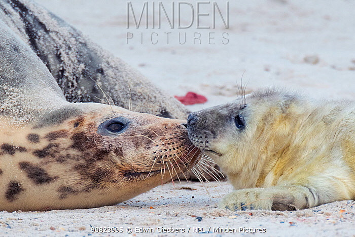 Grey seal (Halichoerus grypus), mother playing with pup, Helgoland, Germany.