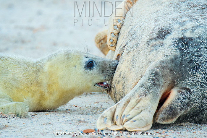 Grey seal (Halichoerus grypus), mother with suckling pup. Helgoland, Germany.
