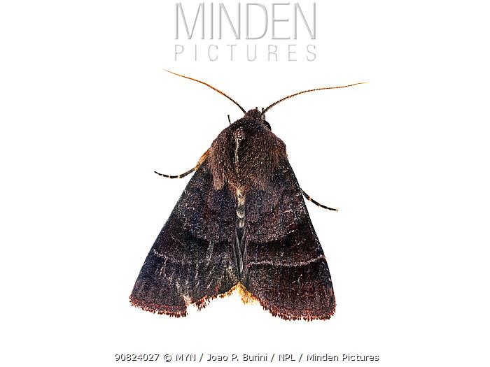 Unidentified moth (Lepidoptera) Atlantic forest Itatiaia National Park, Brazil. Meetyourneighbours.net project.