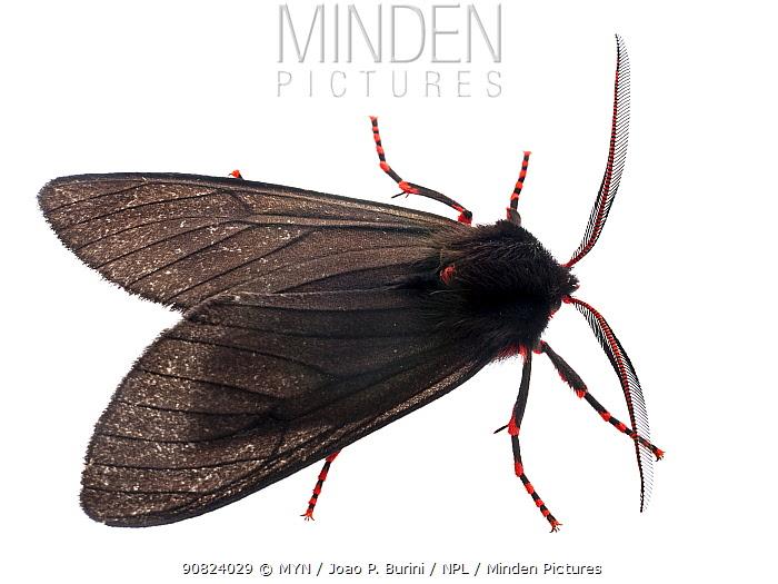 Red and black moth (Wanderbiltia wanderbilti) Atlantic forest Itatiaia National Park, Brazil. Meetyourneighbours.net project.