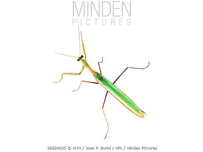 Male praying mantis (possibly Coptopteryx sp.) Atlantic forest  Itatiaia National Park, Brazil March 2018 Meetyourneighbours.net project.