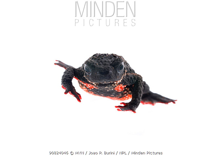 Maldonada redbelly toad (Melanophryniscus moreirae) Atlantic forest  Itatiaia National Park, Brazil March 2018 Meetyourneighbours.net project.