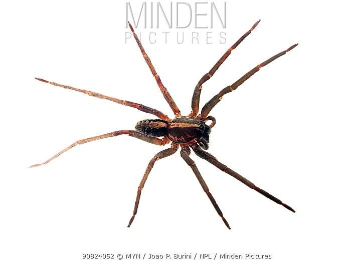 Wandering spider (Ctenidae) Atlantic forest (rainforest) Tapirai, Sao Paulo, Brazil. Meetyourneighbours.net project.