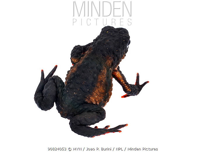 Maldonada redbelly toad (Melanophryniscus moreirae) Atlantic forest, Itatiaia National Park, Brazil. Meetyourneighbours.net project.