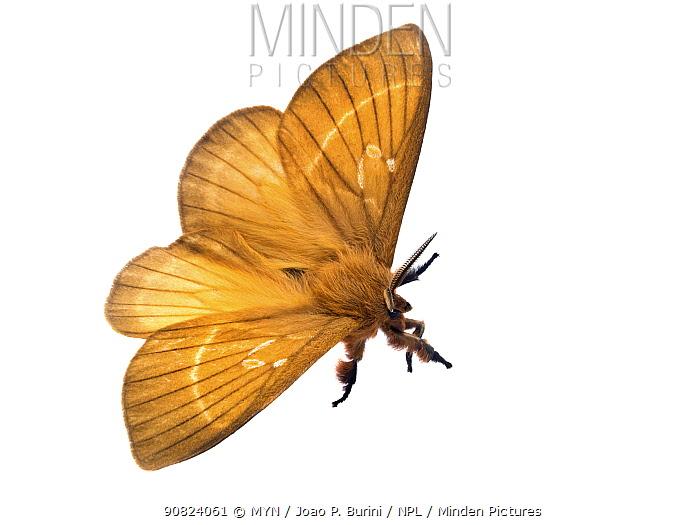 Hemileucinae moth with wings open (Dirphia monticola) Atlantic forest, Itatiaia National Park, Brazil  Meetyourneighbours.net project.