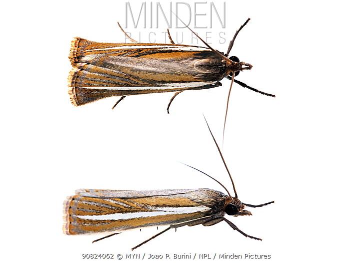 Moth (Lepidoptera) Atlantic forest, Itatiaia National Park, Itamonte, Brazil. Meetyourneighbours.net project.