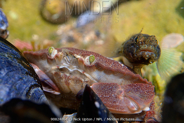 Young Edible crab (Cancer pagurus) and a Rock goby (Gobius paganellus) side by side in a rock pool, looking towards the camera, The Gower, Wales, UK, August.