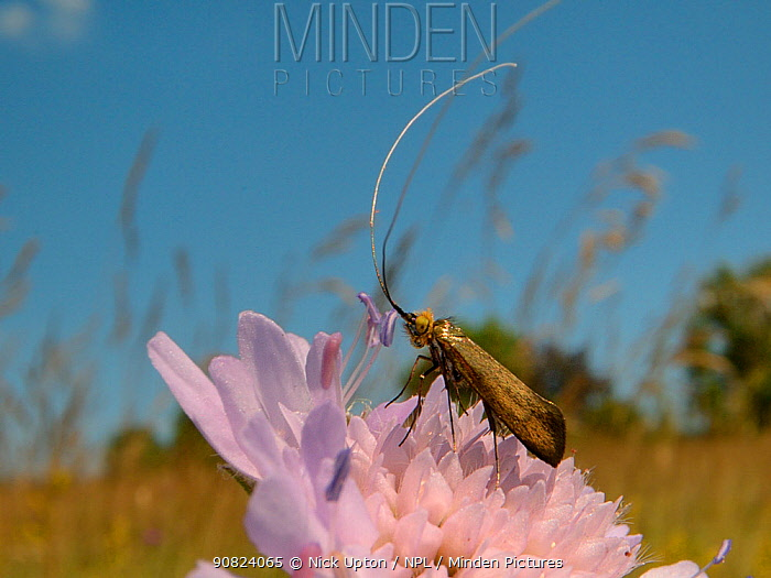 Brassy longhorn moth (Nemophora metallica) male animal standing on a Field scabious (Knautia arvensis) flower, the host plant for the larvae of this species, waiting for females to arrive, chalk grassland meadow, Wiltshire, UK, July.