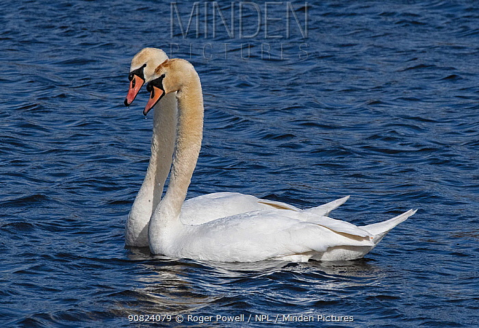 Mute swan pair (Cygnus olor) engaged in courtship. Potterick Carr, Doncaster, Yorkshire, UK, March.