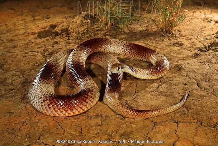 Speckled brown snake (Pseudonaja guttata) from Avon Downs, Barkly Tableland, Northern Territory, Australia. Controlled conditions