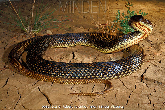 Ingram's Brown Snake (Pseudonaja ingrami) male adopting a typical defensive posture, Hamilton Channels near Boulia in far western Queensland, summer. Controlled conditions