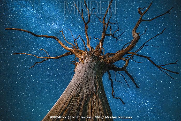 Milky Way over an English oak tree (Quercus robur), at night, Brecon Beacons National Park International Dark Sky Preserve, Wales UK, December