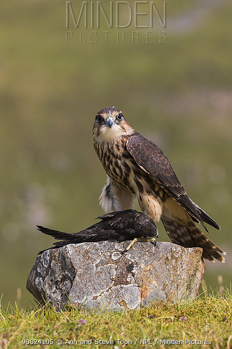 Merlin (Falco columbarius) with Swift (Apus apus) prey , Cumbria, UK, captive. July