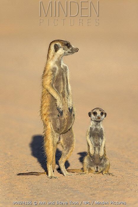 Meerkats (Suricata suricatta) pregnant female with pup, Kgalagadi Transfrontier Park, Northern Cape, South Africa.