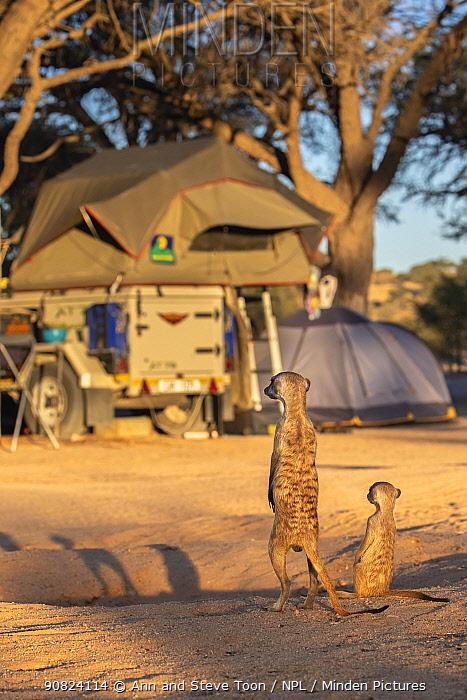 Meerkat (Suricata suricatta) in campsite, Kgalagadi Transfrontier Park, Northern Cape, South Africa.