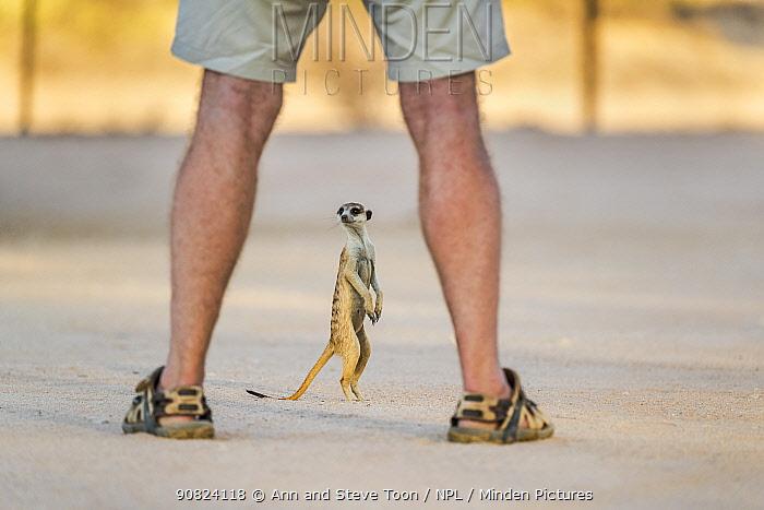 Meerkat (Suricata suricatta) at campsite seen through legs of tourist. Kgalagadi Transfrontier Park, Northern Cape, South Africa.