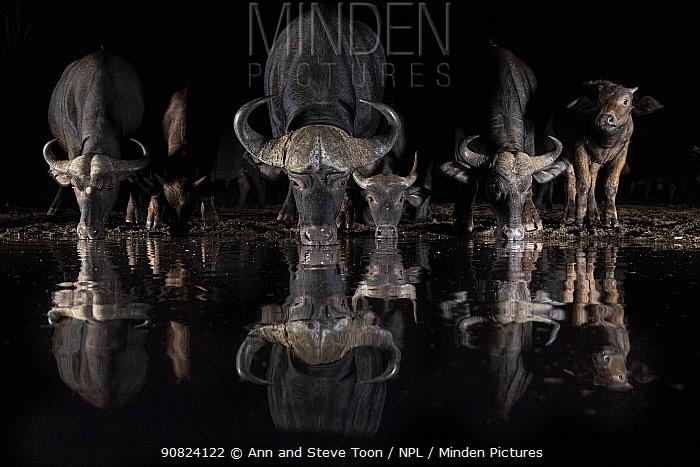 Cape buffalo (Syncerus caffer) drinking at night, Zimanga private game reserve, KwaZulu-Natal, South Africa. 2018