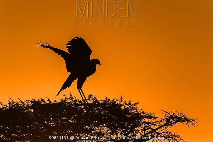 Secretarybird (Sagittarius serpentarius) at roost, Zimanga game reserve, KwaZulu-Natal, South Africa.