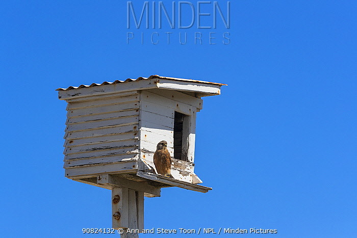Rock kestrel (Falco rupicolus) at nesting box, Western Cape, South Africa.