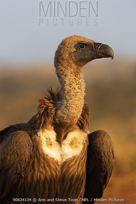Whitebacked vulture (Gyps africanus), Zimanga private game reserve, KwaZulu-Natal, South Africa.
