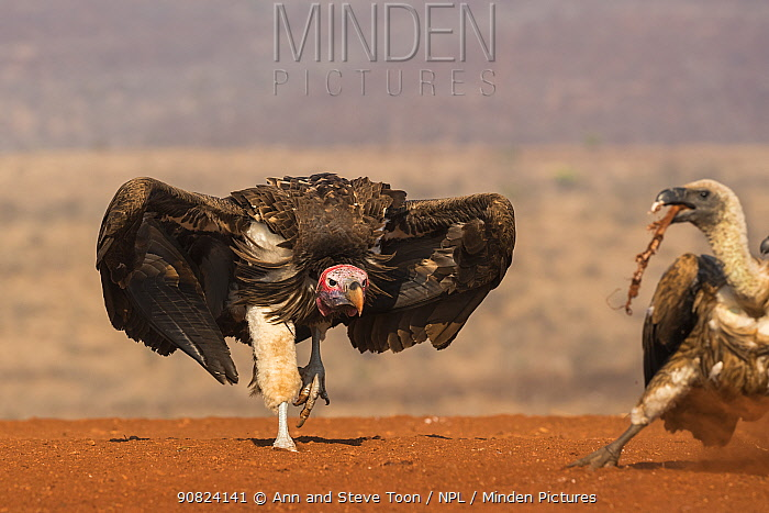 Lappetfaced vulture (Torgos tracheliotos) intimidating whitebacked vulture for food, Zimanga private game reserve, KwaZulu-Natal, South Africa.