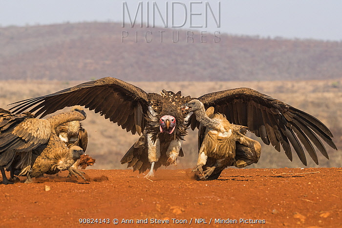 Lappet faced vulture (Torgos tracheliotos) intimidating whitebacked vultures, Zimanga private game reserve, KwaZulu-Natal, South Africa.