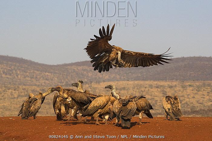Whitebacked vultures (Gyps africanus) feeding, Zimanga private game reserve, KwaZulu-Natal, South Africa.