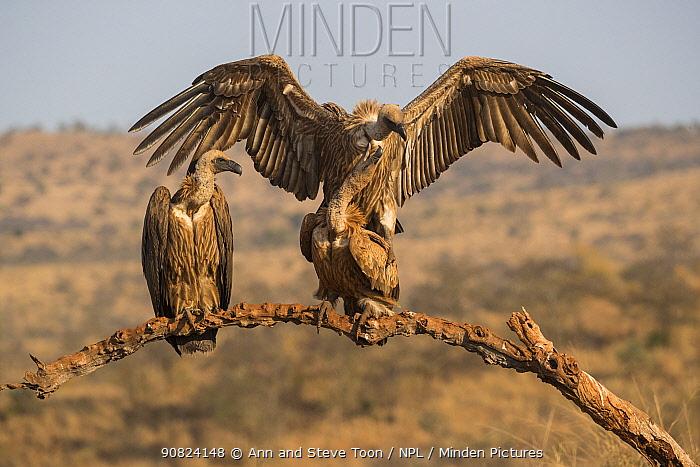 Whitebacked vultures (Gyps africanus) mating, Zimanga private game reserve, KwaZulu-Natal, South Africa.