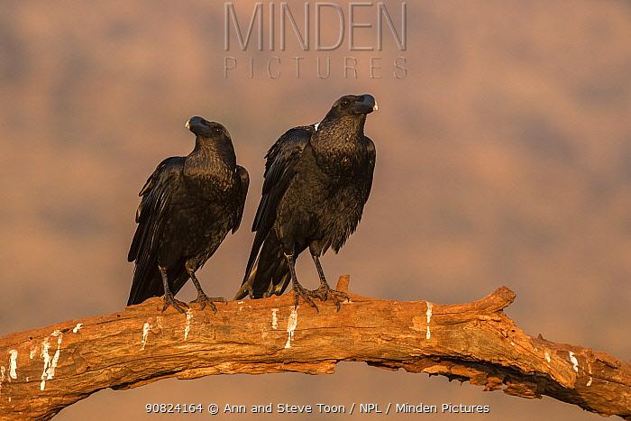 Whitenecked ravens (Corvus albicollis), Zimanga private game reserve, KwaZulu-Natal, South Africa.