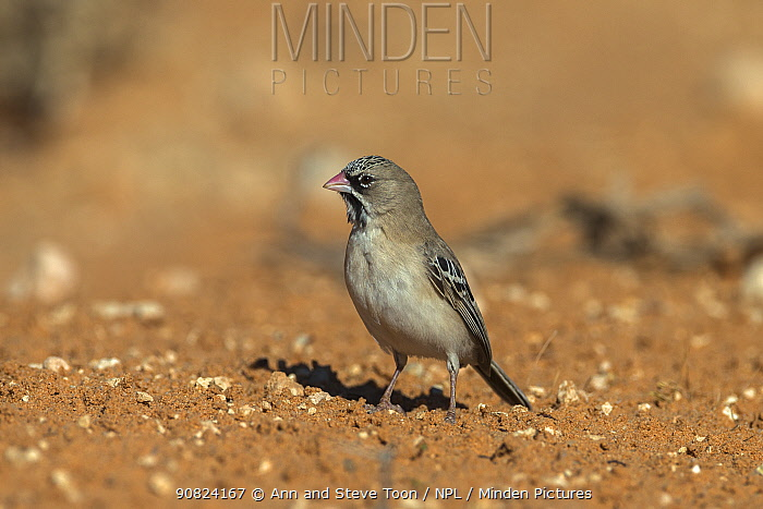Scaly-feathered finch (weaver) (Sporopipes squamifrons), Kgalagadi transfrontier park, South Africa, February