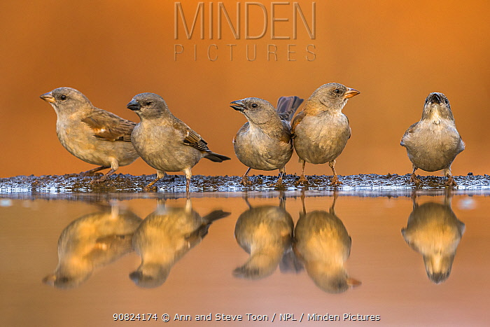 Southern greyheaded sparrows (Passer diffusus) reflected in waterhole, Zimanga private game reserve, KwaZulu-Natal, South Africa.