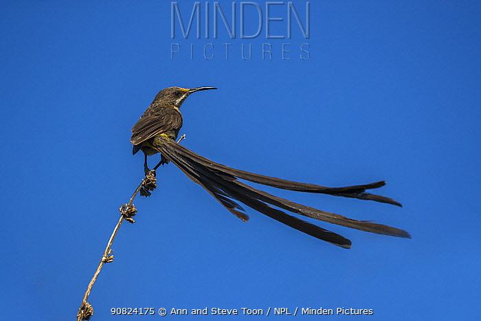 Cape sugarbird (Promerops cafer), Kirstenbosch National Botanical Garden, Cape Town, South Africa.