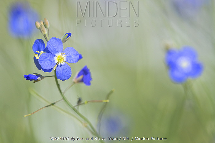 Blue flax (Heliophila coronopifolia), Namaqualand, Northern Cape, South Africa