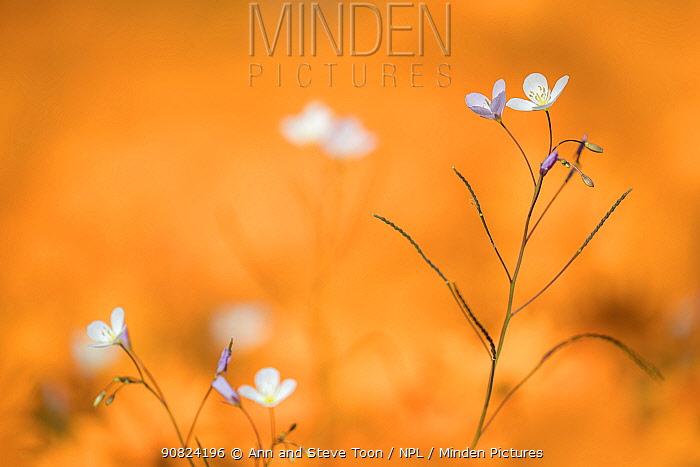 Heliophila sp, flowers, Namaqua National Park, Northern Cape, South Africa.