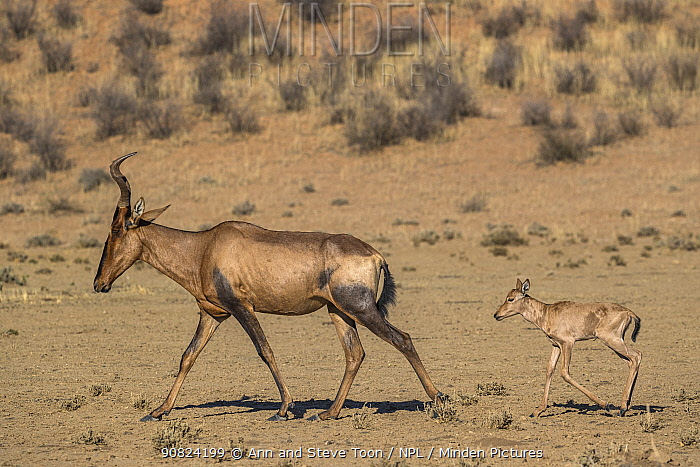 Red hartebeest (Alcelaphus buselaphus caama) with young, Kgalagadi transfrontier park, South Africa.
