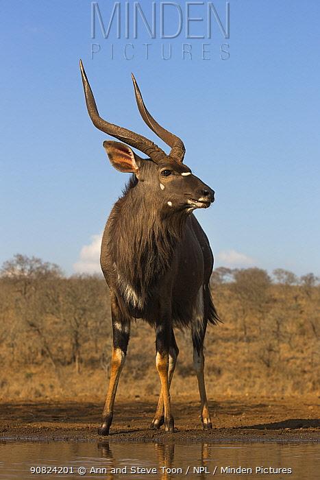Nyala (Tragelaphus angasii) male at water, Zimanga private game reserve, KwaZulu-Natal, South Africa.
